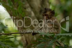 Baby long-tailed macaque sits on shady branch