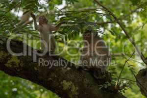 Long-tailed macaque and baby sit on branch