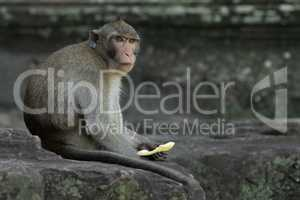 Long-tailed macaque holds fruit at Angkor Wat