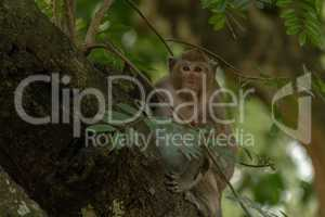 Long-tailed macaque sits on branch facing camera