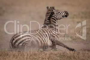 Plains zebra lying on grassland in dust