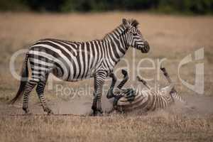 Plains zebra rolling in dust by mother