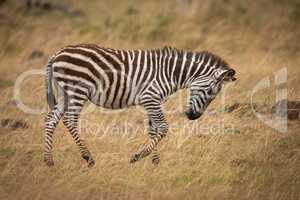 Plains zebra on savannah with lowered head
