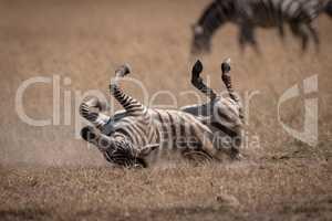 Plains zebra rolling in dust near others