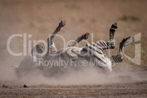 Plains zebra rolling in dust on savannah