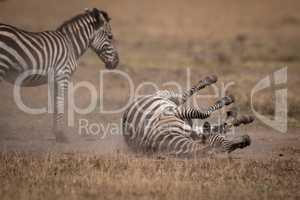 Plains zebra rolling on back by foal