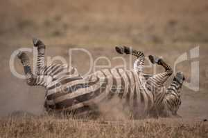 Plains zebra rolling on back in grass