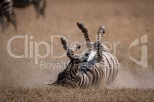 Plains zebra rolling on back in grassland