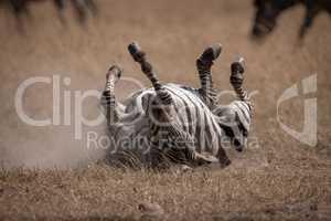 Plains zebra rolling on back in savannah