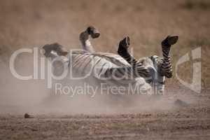 Plains zebra rolls in dust on savannah