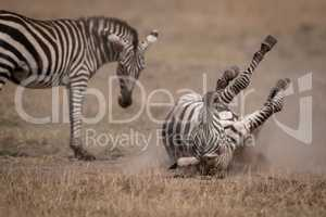 Plains zebra rolls in dust by mother