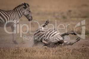 Plains zebra rolls on back beside mother