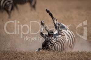 Plains zebra rolls on back in grassland