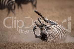 Plains zebra rolls on back near others