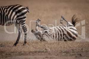 Plains zebra rolls on grass behind another