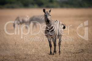 Plains zebra standing in savannah near others