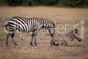 Plains zebra stands nuzzling foal in dust