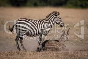 Plains zebra stands over foal in dust