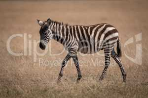 Plains zebra walking alone on grassy plain