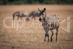 Plains zebra walking on savannah near others