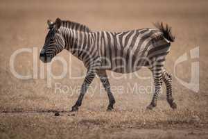Plains zebra walks across savannah swishing tail