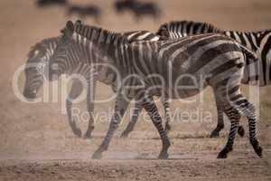 Plains zebra walks in dust beside others