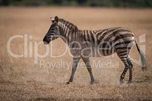 Plains zebra walks on grass in savannah