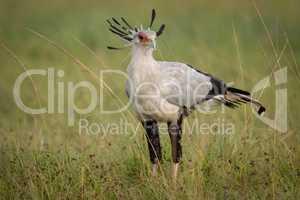 Secretary bird standing in grass on savannah