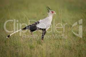 Secretary bird walking through grass on savannah