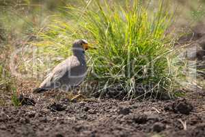 Senegal wattled plover by clump of grass
