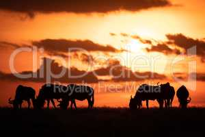 Six blue wildebeest silhouetted against orange sunset