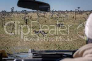 Truck driver watches cheetah cubs through windscreen