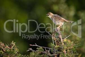 Zitting cisticola on whistling thorn opens beak