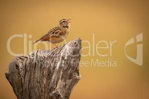 Zitting cisticola on stump with open beak