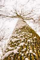 Oak in wintertime, bark with snowhat