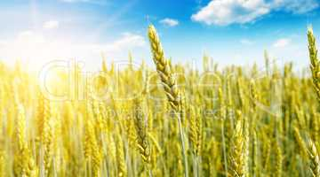 Wheat field and sunrise in the blue sky. Wide photo.