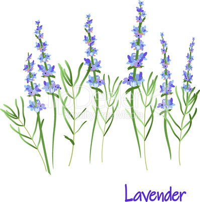 lavender flowers, vector drawing medicinal plant botanical illustration, isolated floral element - Vector