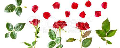 Flowers composition. Red roses isolated on white background. Wid