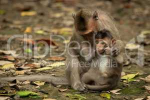 Long-tailed macaque sits nursing baby amongst leaves