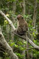 Long-tailed macaque sits on branch looking up