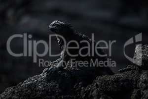 Marine iguana perched on black volcanic rock