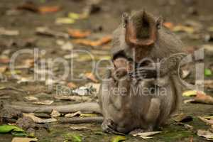 Mother long-tailed macaque grooms baby among leaves