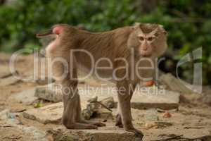 Northern pig-tailed macaque stands on rocky slab