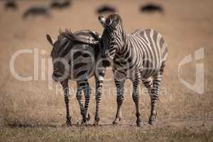 Two plains zebra standing with wildebeest behind