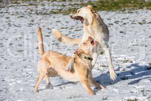 two dogs play in the snow in winter