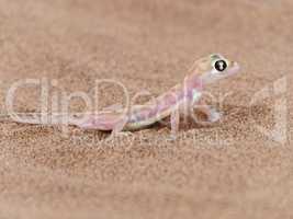 rosa durchsichtiger Wüstengecko mit großem Auge in der Wüste in Namibia, Afrika