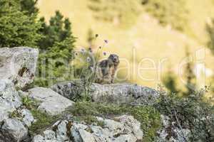 Alpine marmot between flowers