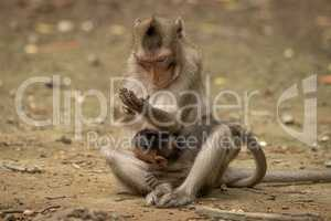 Long-tailed macaque examines hand while carrying baby