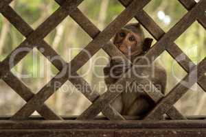 Long-tailed macaque faces camera through wooden trellis