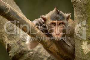 Long-tailed macaque on bamboo pole in tree